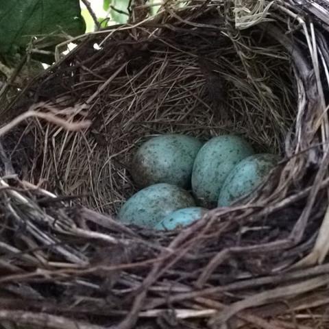 Vogeleier Blau