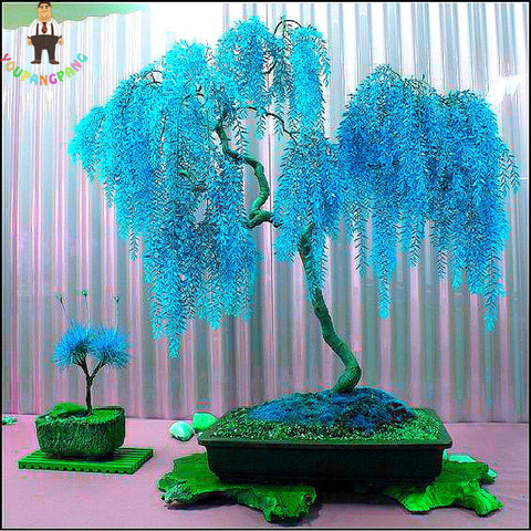 blaue weide pflanzen botanik bonsai. Black Bedroom Furniture Sets. Home Design Ideas