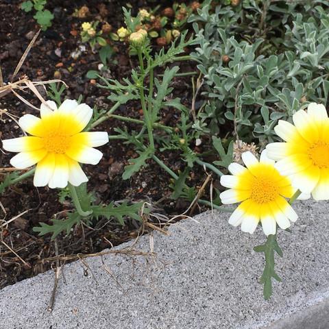 Magerittensorte aus Ulrlaub wächst im Garten  - (Urlaub, Garten, Blumen)