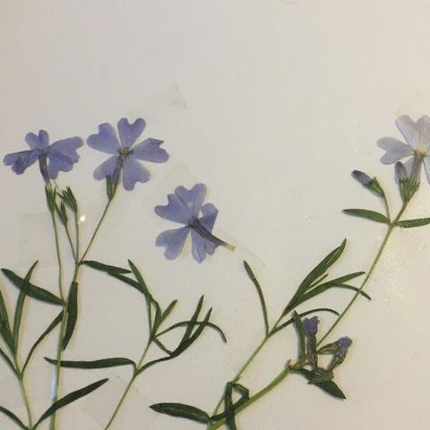 Blume bestimmen herbarium? (Biologie, Blumen)