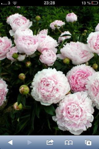 Das ist die Blume  - (Geburtstagsgeschenk, Blumen, weiß)