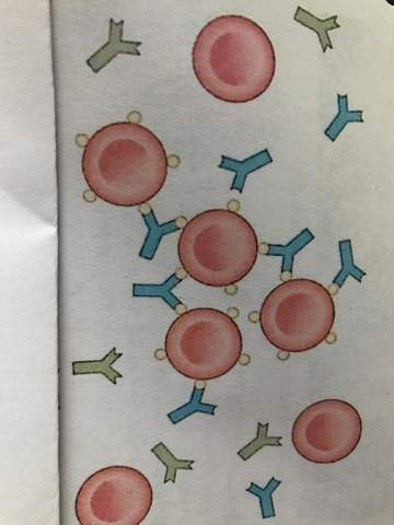 - (Biologie, Blutgruppe)