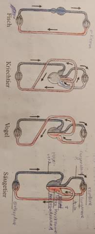Blutkreisläufe Evolution Vogel Säugetier Unterschied (Bild)?