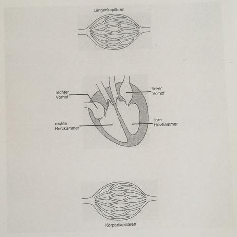Blutkreislauf im menschlichen Körper Arbeitsblatt (Schule, Blut, Herz)