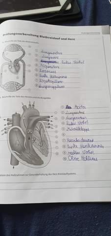 Blutkreislauf und Herz?
