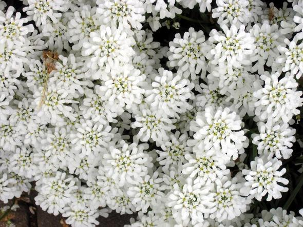 Bodendecker in weiß (Blumen)