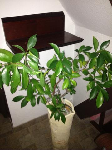 bonsai baum art wert pflanzen. Black Bedroom Furniture Sets. Home Design Ideas