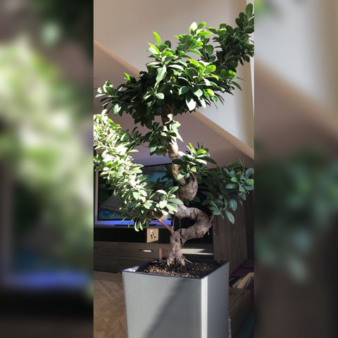 Bonsai binden oder schneiden? (Pflanzen, Ginseng, Bonsaipflege)