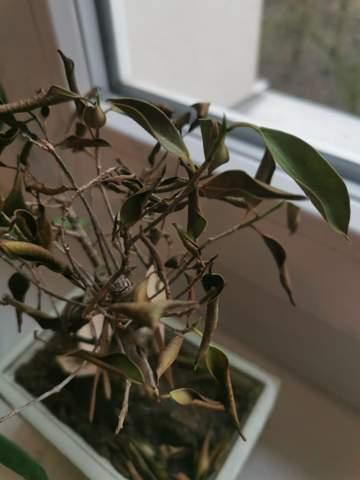 Bonsai (Ficus retusa) stirbt - zu viel oder zu wenig gegossen?