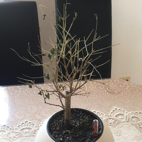 bonsai liguster verliert alle bl tter pflanzen baum. Black Bedroom Furniture Sets. Home Design Ideas