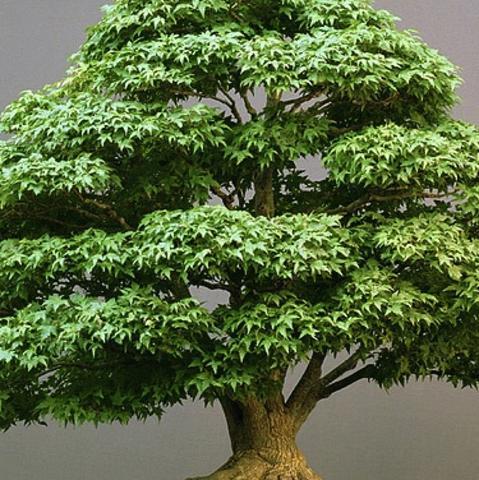 bonsai schneiden und in form bringen garten pflanzen. Black Bedroom Furniture Sets. Home Design Ideas