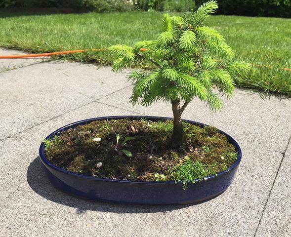 Gemeinsame Bonsai zurückschneiden (Pflanzen, Garten, fichte) @YP_66