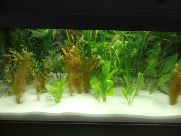 pflanzen - (Aquarium, wasserpflanzen)