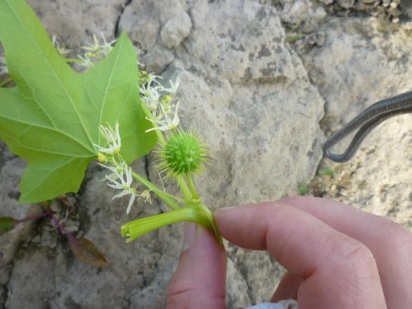 pflanze 1 - (Pflanzen, Herbarium)