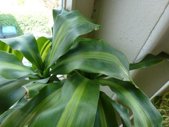 brauche hilfe welche pflanzen habe ich pflanzenpflege zimmerpflanzen palme. Black Bedroom Furniture Sets. Home Design Ideas