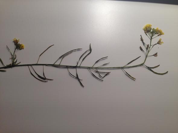 brauche hilfe zur bestimmung dieser pflanze pflanzen herbarium. Black Bedroom Furniture Sets. Home Design Ideas