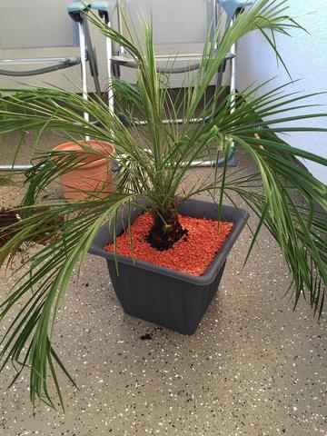 Brauche Palmenkenner, Was ist das? (Blumen, Zimmerpflanzen, Palme)