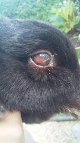 Brauche schnell Hilfe! Mein Hase kann nichts mehr sehen auf dem einen Auge was ist im Auge drinne?