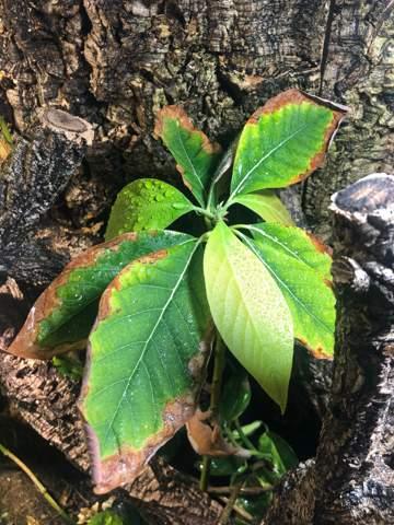 Braune Blätter abschneiden oder nicht?