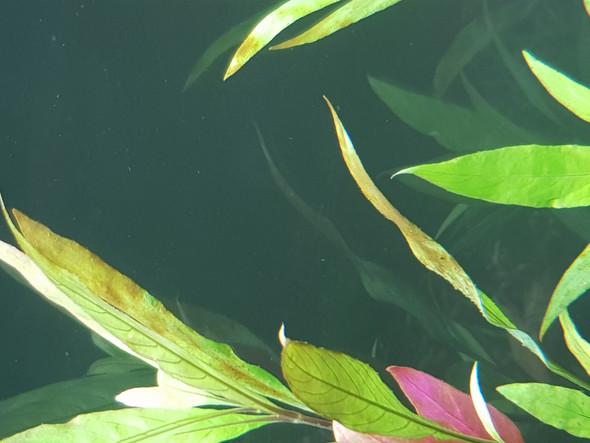 braune flecken auf pflanzen ist das normal natur aquarium aquariumpflanzen. Black Bedroom Furniture Sets. Home Design Ideas