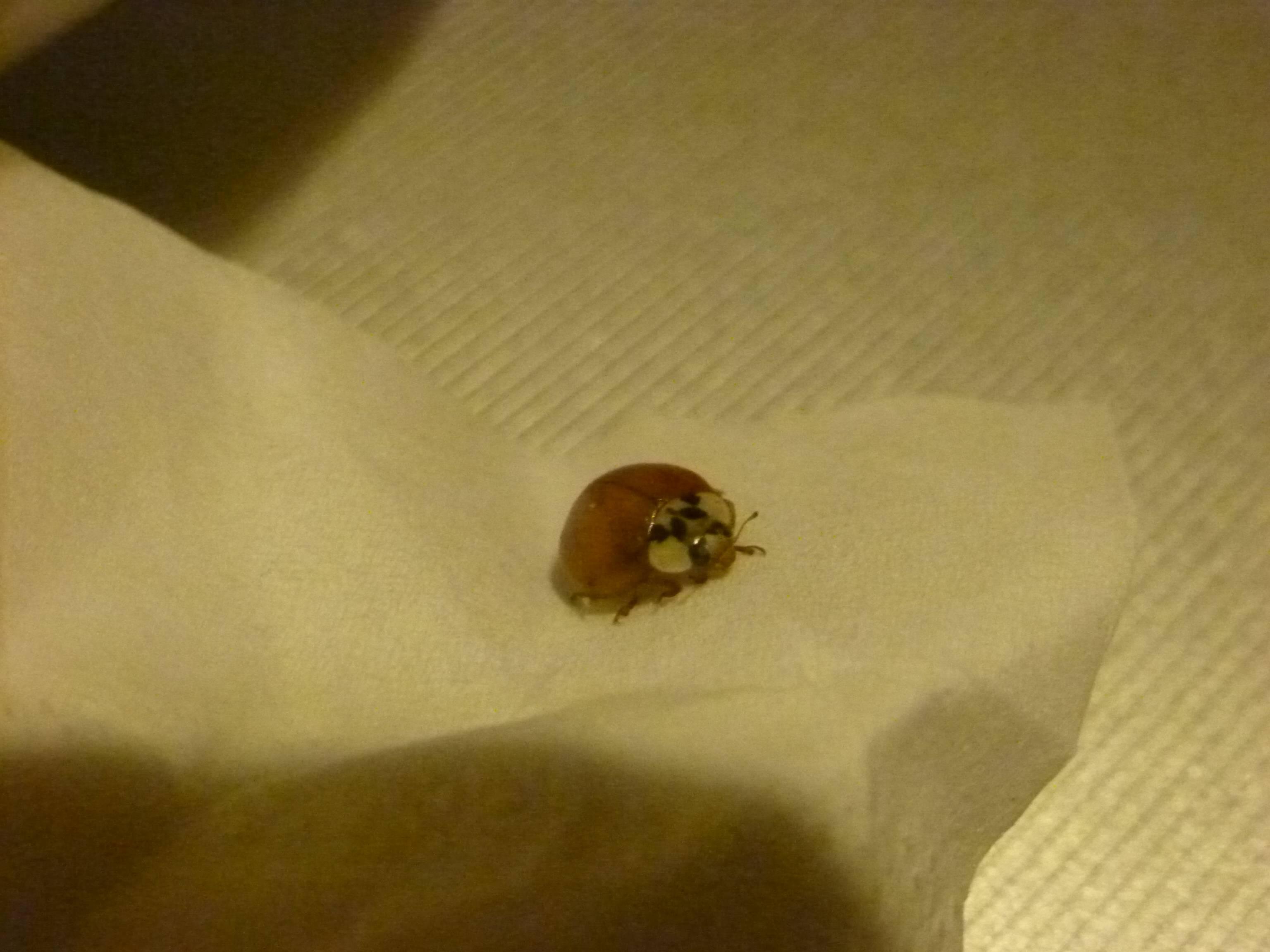 brauner kugelf rmiger k fer im schlafzimmer insekten ungeziefer sch dlinge. Black Bedroom Furniture Sets. Home Design Ideas