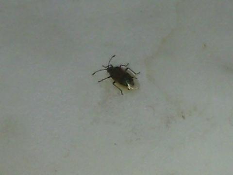 braunes insekt mit durchsichtigen fl gel insekten fenster. Black Bedroom Furniture Sets. Home Design Ideas