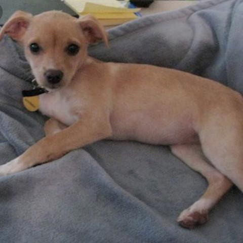 so sieht der cheagle aus - (Hund, Schweiz, Welpen)