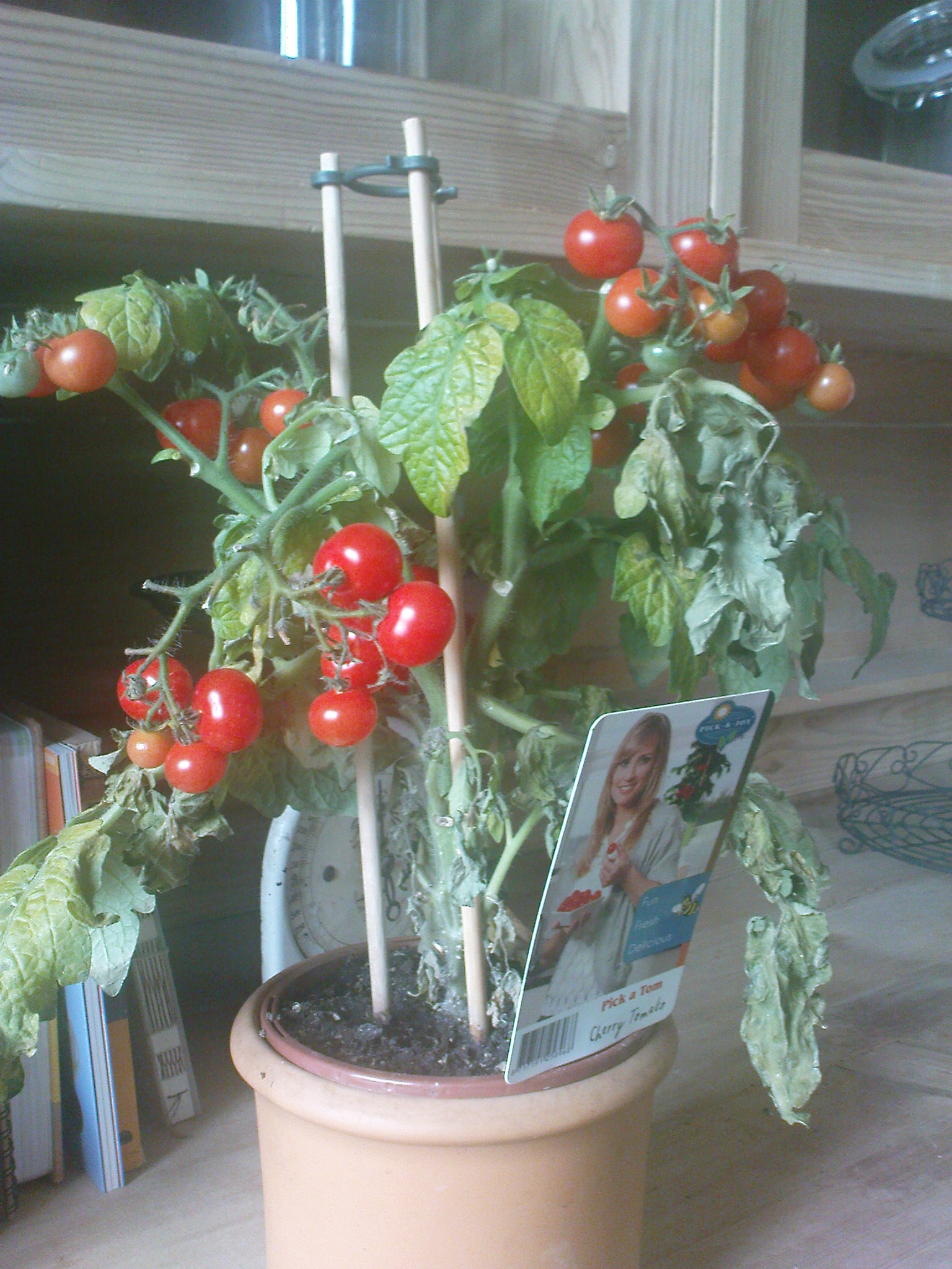 cherrytomate im topf bekommt welke bl tter warum pflanzen pflanzenpflege balkon. Black Bedroom Furniture Sets. Home Design Ideas
