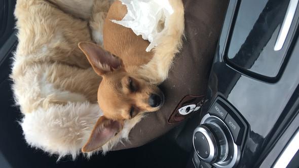 Schläft immer bei Autofahrten - (Hund, Hundefutter, Chihuahua)