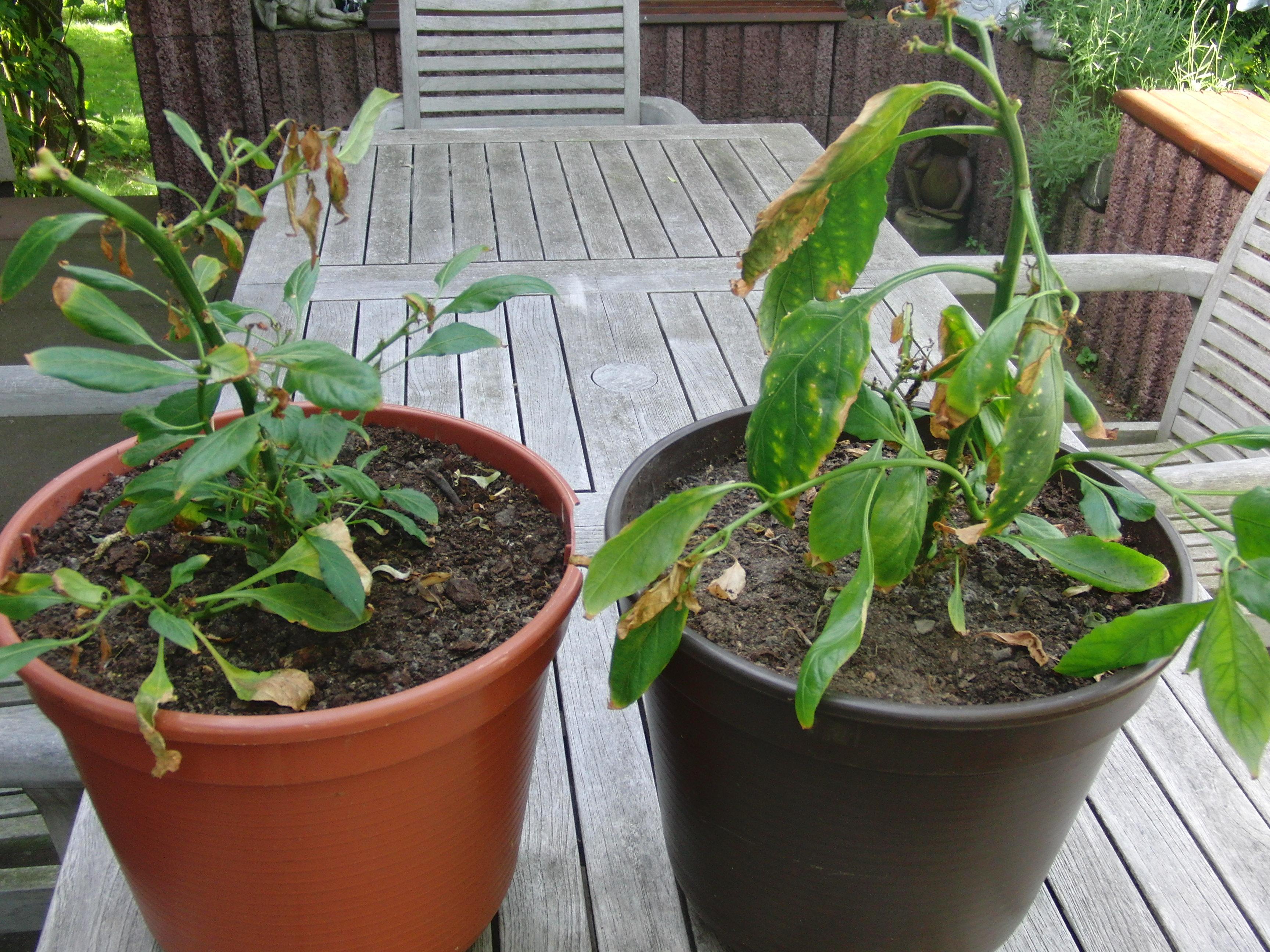 Chilis verlieren bl tter und wachsen nicht mehr pflanzen for Chillies pflanzen