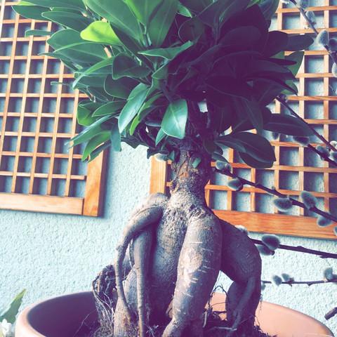 Chinesische feige? - (Garten, Pflanzen, Baum)