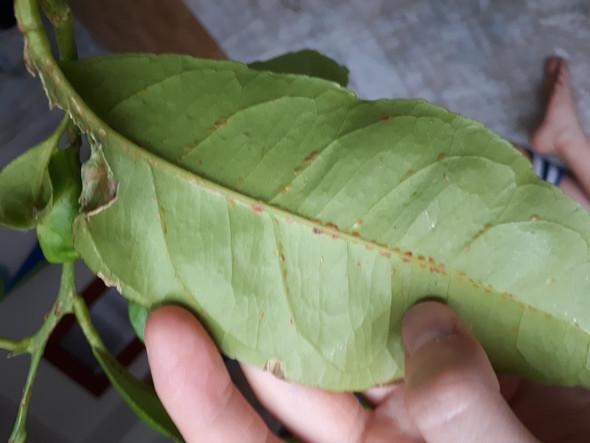 Citrus Blatter Klebrig Garten Pflanzen Pflanzenpflege
