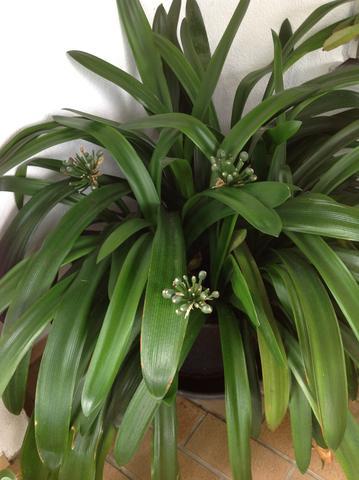clivie bl tenstengel wann abschneiden pflanzen blumen pflanzenpflege. Black Bedroom Furniture Sets. Home Design Ideas