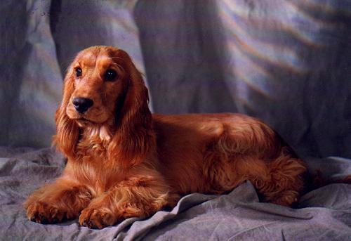 Foto: Kathrin Skorna ; Cocker Spaniel - (Tiere, Krankheit, Hund)