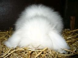 Teddy widder - (Pflege, Kaninchen, Fell)