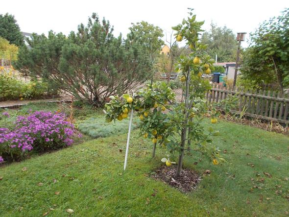 Quittenbaum  - (Herbst, Obstbaum, Baumschnitt)