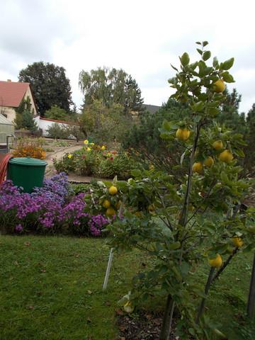 Quittenbaum 2 - (Herbst, Obstbaum, Baumschnitt)