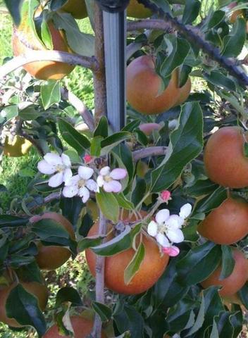 Der Apfel und zur gleichen Zeit die Blüte? Wie kann das sein?