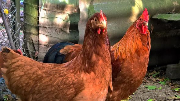 Das ist der faule Hahn - (Hühner, Hahn, Krähen)
