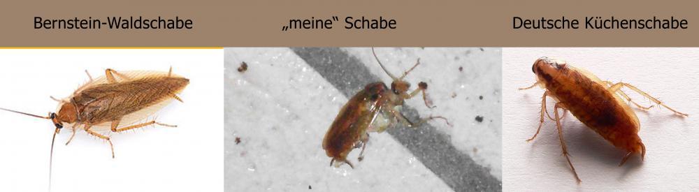 Deutsche Kuchenschabe Oder Bernstein Waldschabe Insekten