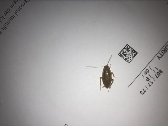 Deutsche Schabe Oder Waldschabe Bitte Helft Mir Insekten
