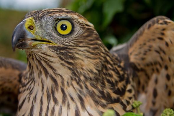 Greifvogel - (Vögel, Greifvögel, gelbe-augen)