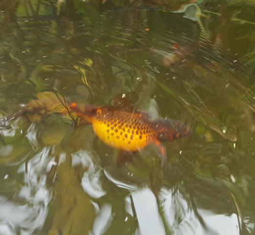so sieht er aus - (krank, Fische, Aquarium)