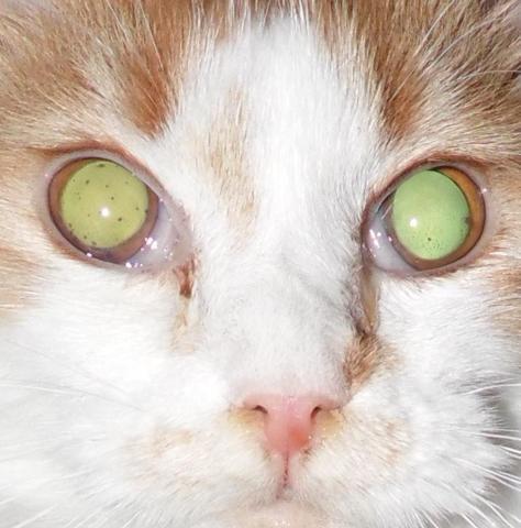 die augen meiner katze haben punkte was ist das katzen tierarzt diabetes. Black Bedroom Furniture Sets. Home Design Ideas