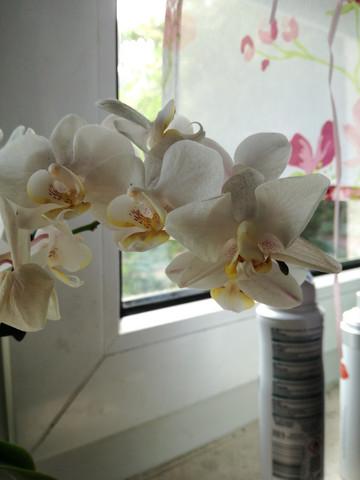 - (Orchideen, Orchideenpflege)