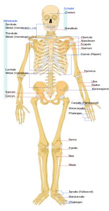 Ein menschliches Skelett - (Schule, Menschen, Biologie)