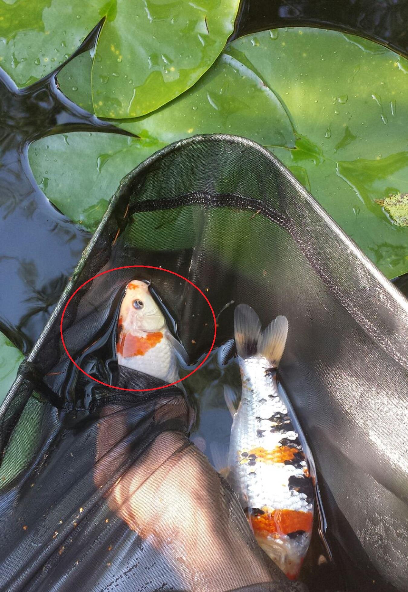 Die k pfe meiner kois haben angefangen die farbe zu for Welche fische passen zu kois