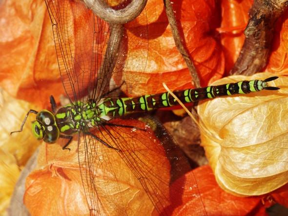 Libelle - (Name, Natur und Umwelt, Libelle)