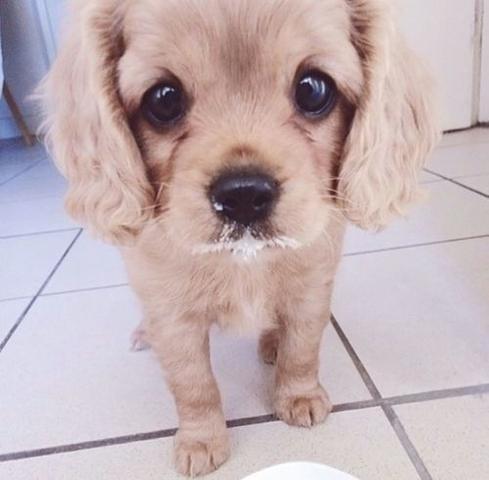 Um diesen Hund handelt es sich . Es dt eine kleine Hunderasse.  - (Hund, kleine-hunderasse)