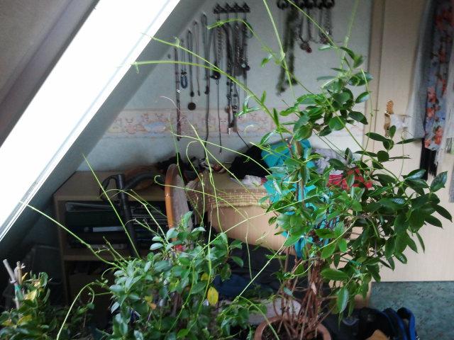 dipladenia treibt total dolle aus was tun pflanzen pflanzenpflege ueberwinterung. Black Bedroom Furniture Sets. Home Design Ideas